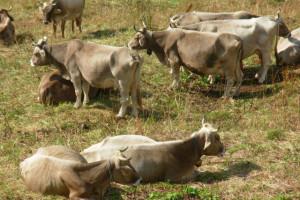 vacche-sacre-600x400