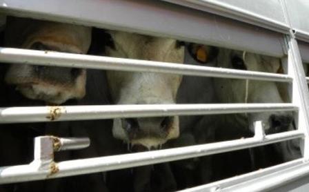 trasporto-vitelli-550